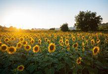 Sunflower Fields in East Tennessee