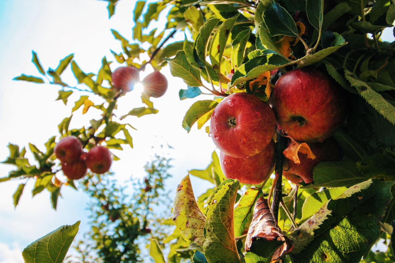 Apple Picking in East Tennessee & Beyond